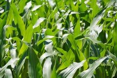 Fondo del campo di grano Immagine Stock