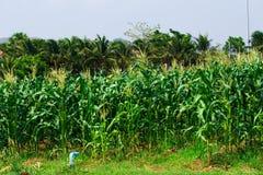 Fondo del campo di grano Fotografia Stock Libera da Diritti