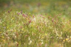 Fondo del campo di mattina con i fiori selvaggi fotografia stock libera da diritti