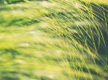 Fondo del Carex del jardín imagen de archivo libre de regalías