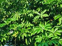 Fondo del cespuglio del ramo del tiro dell'albero della foglia di forma della stella Fotografia Stock