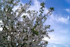 Fondo del cielo azul con las nubes minúsculas Cereza Fotos de archivo