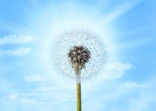 Fondo del cielo azul del diente de león fotografía de archivo libre de regalías