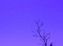 Fondo del cielo negro o azul del árbol del pájaro Foto de archivo libre de regalías
