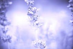 fondo del cierre encima de la planta sabia (lat Salvia Officinalis) imagen de archivo