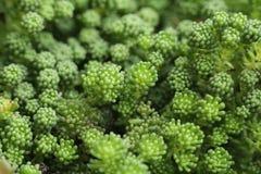 Fondo del closup de la flor del verde del sedum Imágenes de archivo libres de regalías