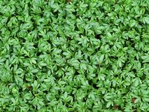 Fondo del crescione di giardino fresco, vista superiore immagine stock libera da diritti