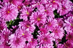 Fondo del crisantemo Imagen de archivo