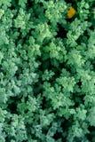 Fondo del crisantemo Fotografato da sopra texur della pianta Fotografia Stock