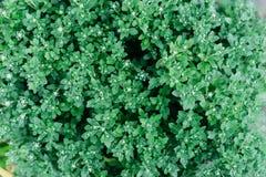 Fondo del crisantemo Fotografato da sopra texur della pianta Fotografie Stock