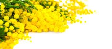 Fondo del día del ` s de la madre La primavera de la mimosa florece la frontera imagenes de archivo