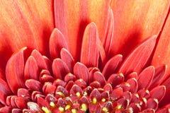 Fondo del detalle de la flor de la margarita Fotos de archivo libres de regalías