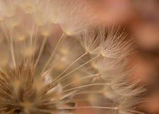 Fondo del diente de león Fotos de archivo libres de regalías