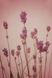 Fondo del estilo del vintage del flor de la lavanda Imagenes de archivo