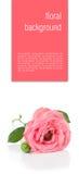 Fondo del fiore con le rose rosa, isolate Immagine Stock