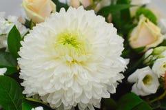 Fondo del fiore del crisantemo bianco fotografia stock