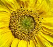 Fondo del fiore del girasole Immagine Stock