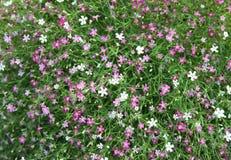 Fondo del fiore del Gypsophila Fotografia Stock