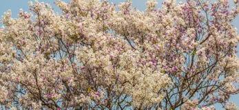 Fondo del fiore di floribunda di Lagerstroemia, fiore di estate Immagini Stock Libere da Diritti