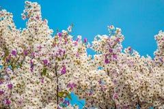 Fondo del fiore di floribunda di Lagerstroemia, fiore di estate Fotografia Stock Libera da Diritti