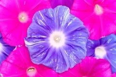 Fondo del fiore di ipomea Fotografie Stock Libere da Diritti