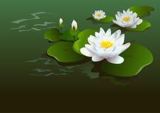 Fondo del fiore di Lotus Immagini Stock