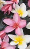 Fondo del fiore di plumeria Fotografia Stock