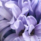 Fondo del fiore lilla del giacinto, petali, fine su Fotografia Stock Libera da Diritti