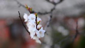 Fondo del flor de la primavera almacen de video