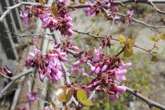 Fondo del flor de la primavera La escena hermosa de la naturaleza con el ?rbol floreciente y el sol se?alan por medio de luces D? fotos de archivo libres de regalías