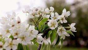 Fondo del flor de la primavera - frontera floral abstracta de las hojas del verde y de las flores blancas Primer del flor del árb metrajes