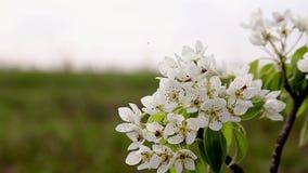 Fondo del flor de la primavera - frontera floral abstracta de las hojas del verde y de las flores blancas Primer del flor del árb almacen de metraje de vídeo