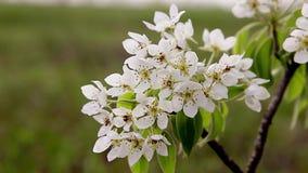 Fondo del flor de la primavera - frontera floral abstracta de las hojas del verde y de las flores blancas Primer del flor del árb almacen de video