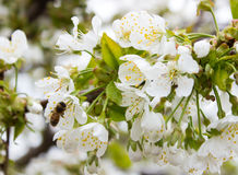 Fondo del flor del brote de la rama del cerezo como concepto floreciente de la estación de la flor hermosa de la primavera Imagen de archivo
