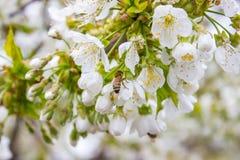 Fondo del flor del brote de la rama del cerezo como concepto floreciente de la estación de la flor hermosa de la primavera Fotografía de archivo libre de regalías