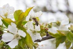 Fondo del flor del brote de la rama del cerezo como concepto floreciente de la estación de la flor hermosa de la primavera Fotos de archivo libres de regalías