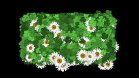 fondo del foliare della vegetazione della pianta della margherita bianca del trifoglio 4k video d archivio