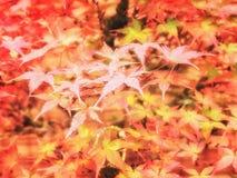 Fondo del follaje del otoño Hojas de arce coloreadas brillantes en las ramas Cierre rojo del follaje del escarlata encima del foc Foto de archivo