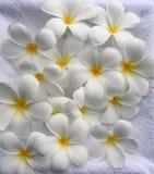 Fondo del Frangipani Fotos de archivo libres de regalías