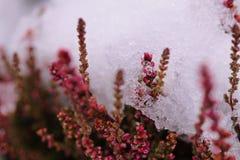 Fondo del ghiaccio con i fiori dell'erica Fotografie Stock Libere da Diritti