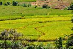 Fondo del giacimento del riso Fotografia Stock Libera da Diritti