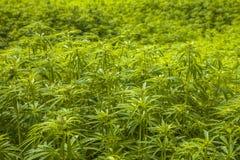 Fondo del giacimento della marijuana Immagini Stock