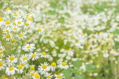 Fondo del giacimento di fiori delle margherite Fotografia Stock Libera da Diritti
