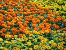 Fondo del giacimento di fiori vibrante del tagete fotografie stock