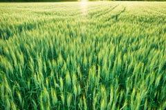 Fondo del giacimento di grano al tramonto fotografia stock libera da diritti