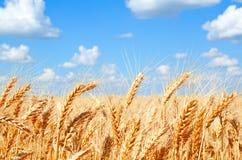 Fondo del giacimento di grano con la maturazione delle orecchie dorate Fotografia Stock