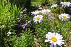 Fondo del giardino floreale della camomilla Immagini Stock Libere da Diritti