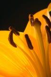 Fondo del girasol de Ragdoll Foto de archivo libre de regalías