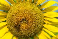 Fondo del girasol y de la abeja Fotografía de archivo libre de regalías