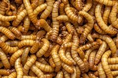 Fondo del gusano de harina Imagen de archivo libre de regalías